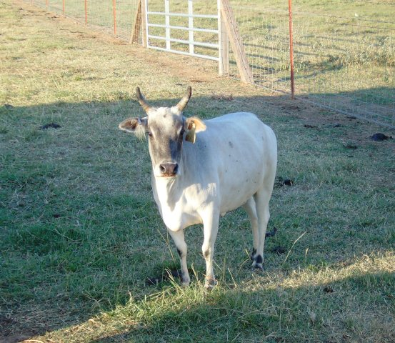 Komokos Maybelline 10/12/2005  Height 32.25.  Registered Minature Zebu